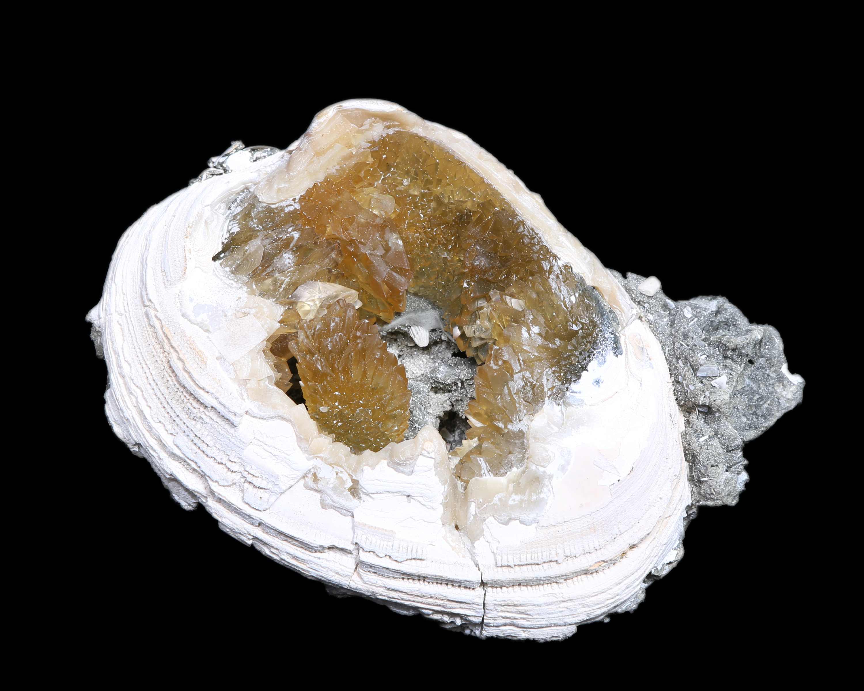 Calcified Fossil Clam Shell Specimen